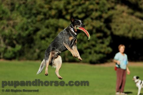 ... Cattle Dog Stock Photos - Australian Cattle Dog Queensland Blue Heeler