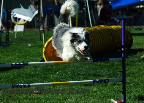 dog-stock-photo_australian-shepherd_picture_dog-agility_00099.JPG